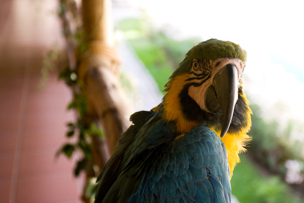A resident macaw