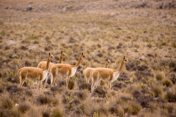 Vicuña seen from Tranquilo