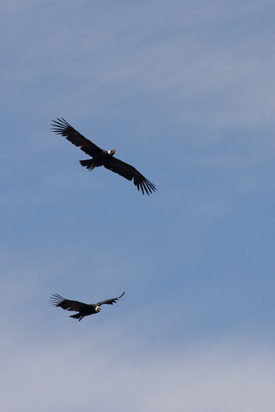 Adult condors flying by
