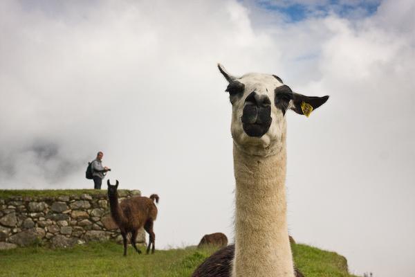 Greeting a llama