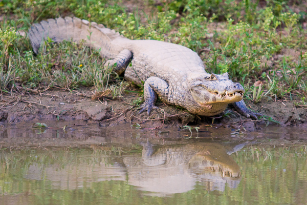 A watching alligator