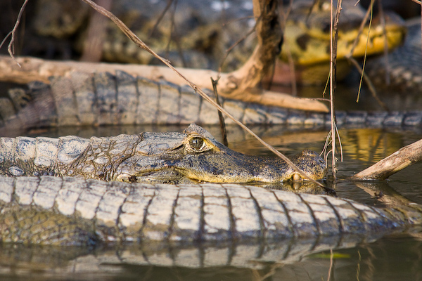 Stacked up alligators