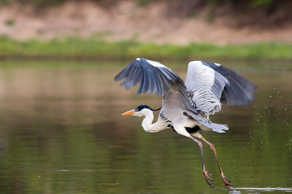 A heron takes flight