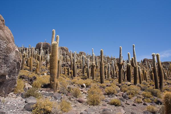 The island cactus