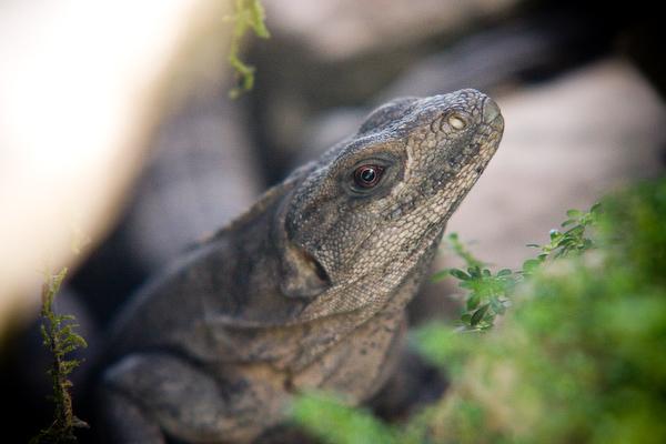 A hiding iguana