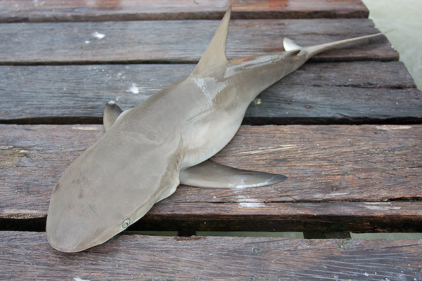 Jetty shark.