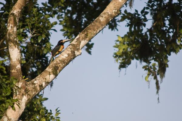 A toucan.