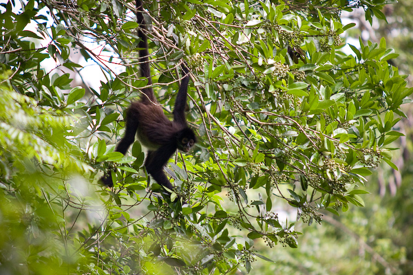 A spider monkey enjoying breakfast.